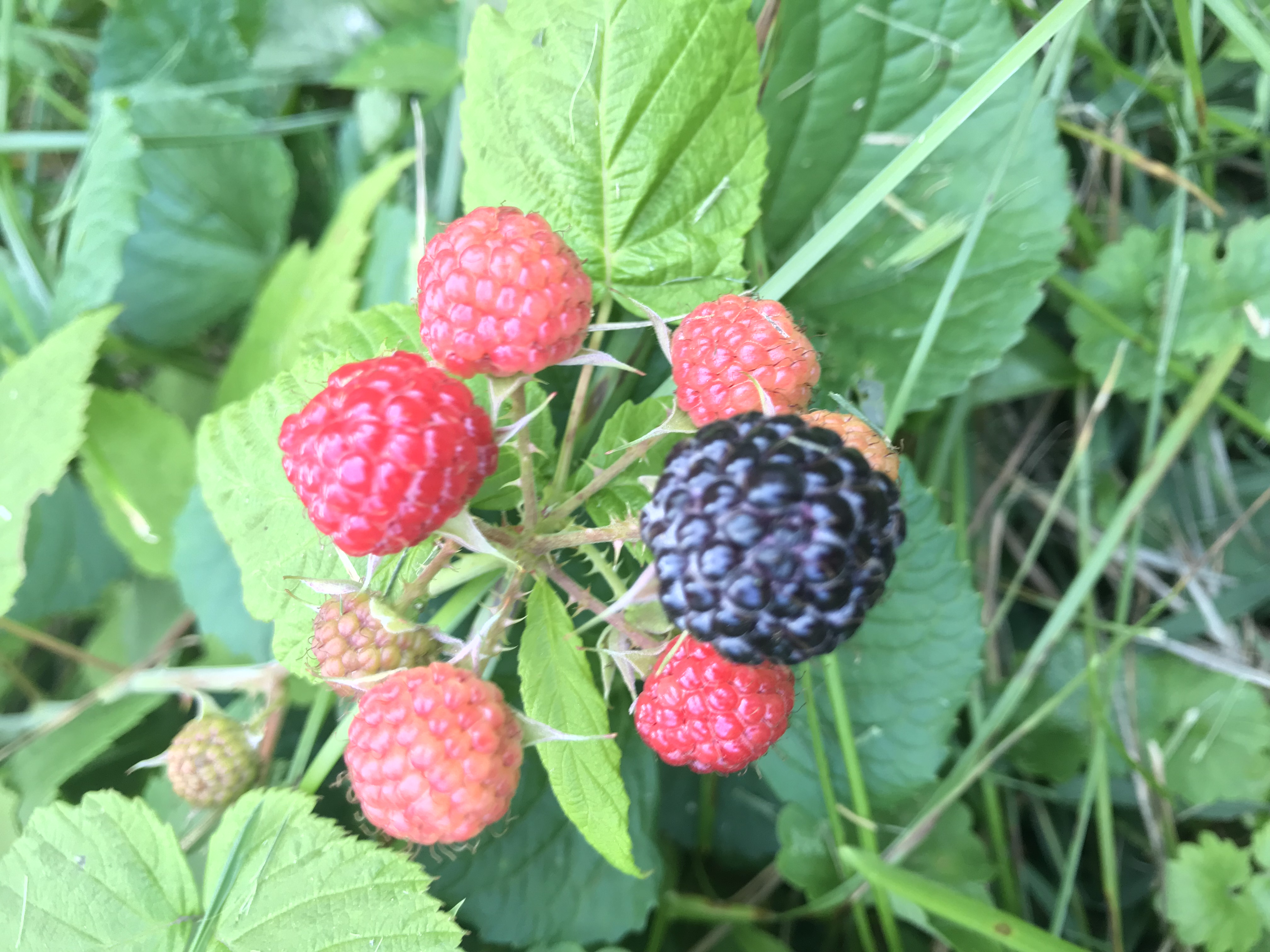 Black Raspberry wanting to be picked