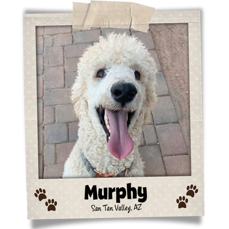 Poodini's Pet of the Month: Murphy!