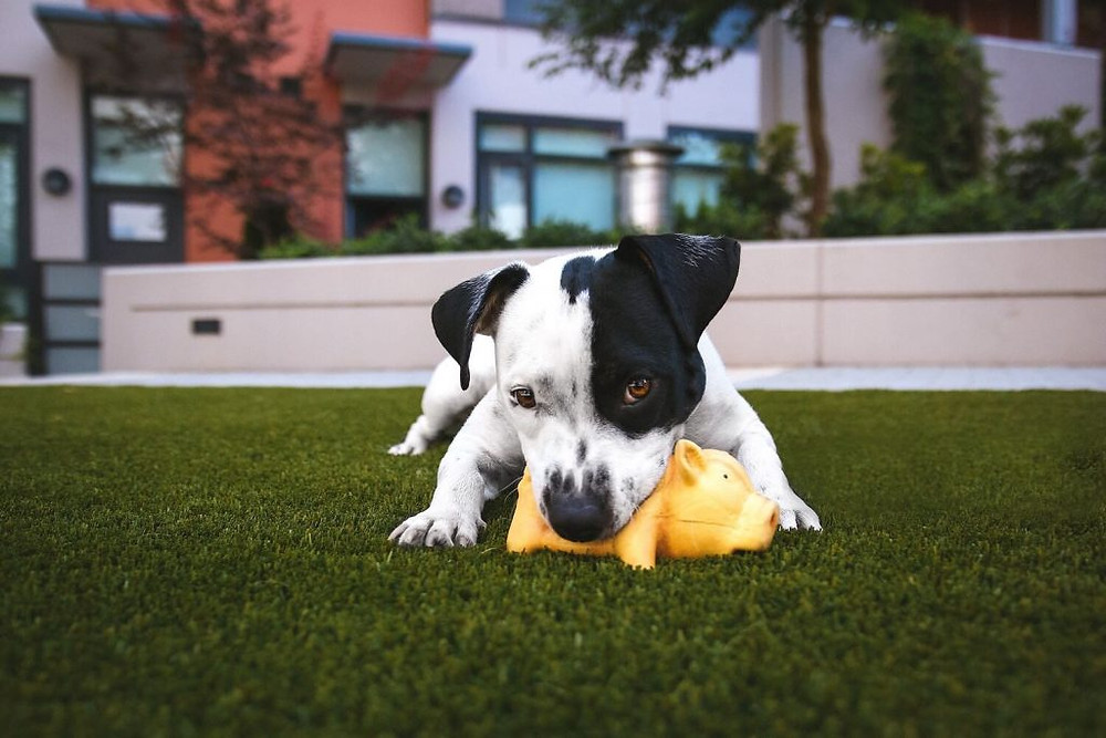 Dog chewing toy on turf