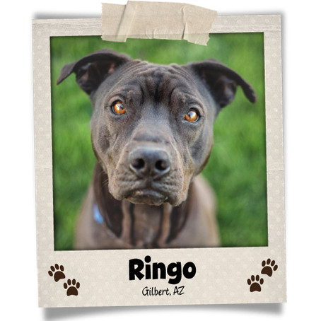 Poodini's Pet of the Month: Ringo!