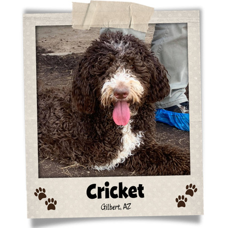 Poodini's Pet of the Month: Cricket!