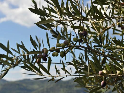 L'olivicoltura in Emilia-Romagna: Innovazione e Sostenibilità