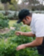 Head chef picking fresh herbs from kitchen garden
