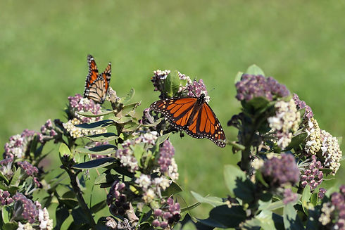monarch-butterfly-5385720_1920.jpg