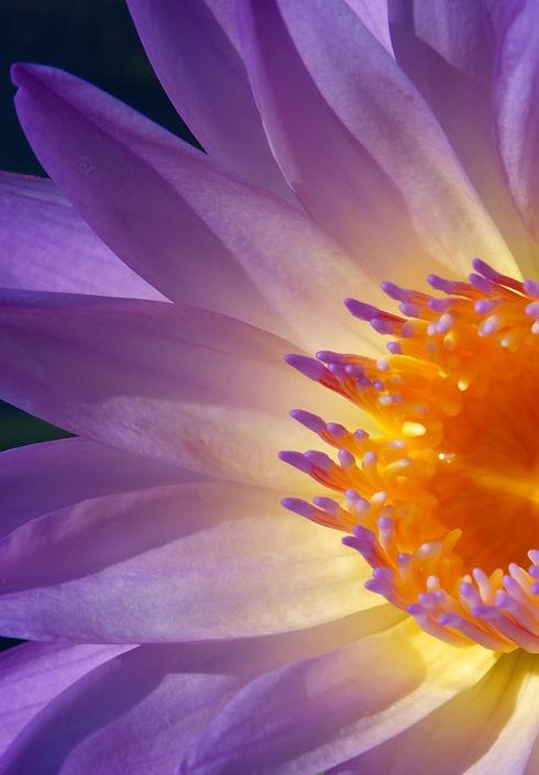 close up purple lotus flower blooming_edited.jpg