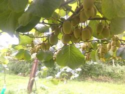 Branche chargée de fruits