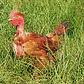 Poulet fermier en vente directe Puyoo Béarn