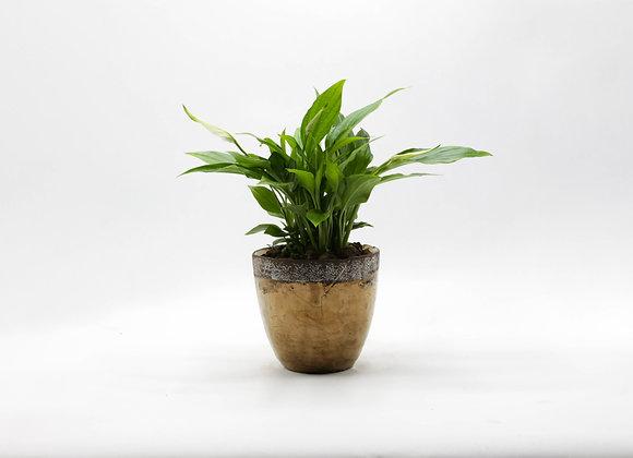 Serax Pot with Spathiphyllum