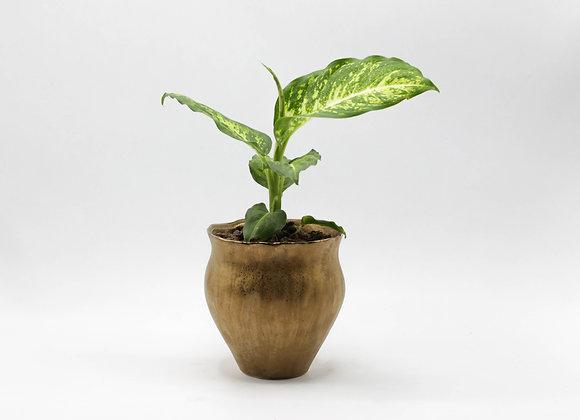 Serax Pot with Dieffenbachia