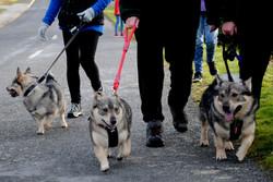 Vallhund Walk