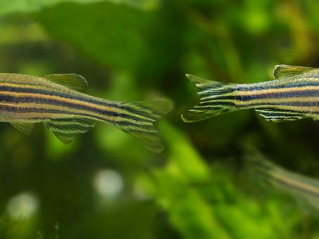 Novality in Zebrafish Research
