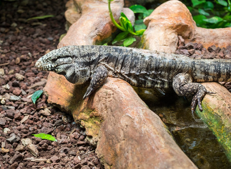 Is sleep in reptiles similar to ours?
