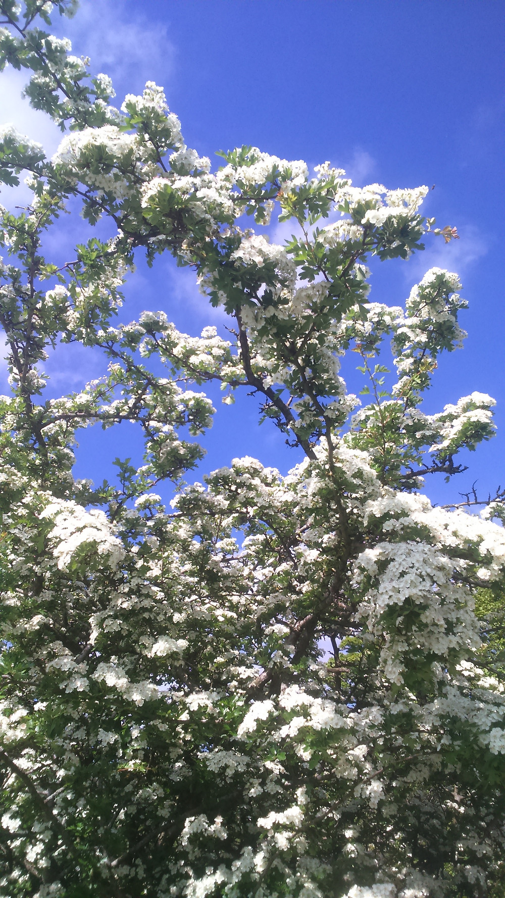 Elder flowers near River View Pateley Dales holiday cottage accommodation