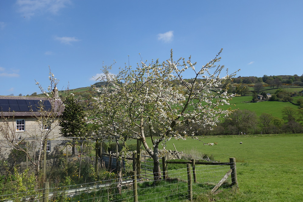 Apple tree at River View Pateley dales holiday cottage in Nidderdale