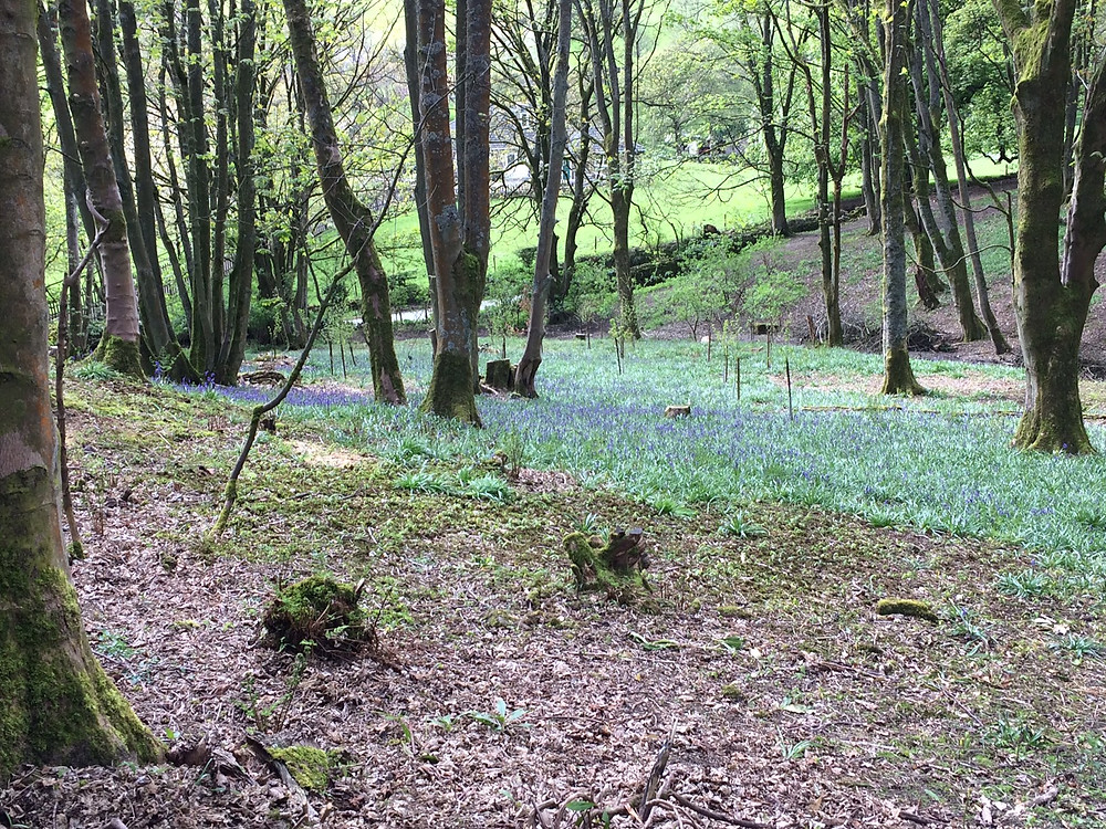Bluebells at Fishpond Wood near River View Pateley