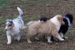 3 Puppies Playing