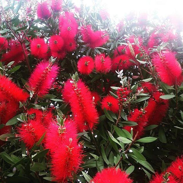 Red Bottle Brush Bees