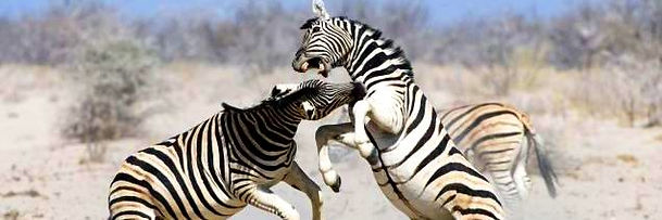 african big 5, zebras fighting, south africa hunting trips, african big game hunting trip vacation