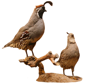 wild game, trophy quail