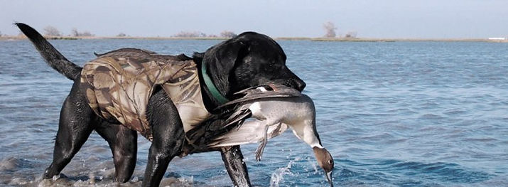 guided bird hunt, bird dog, vacation duck hunting trip