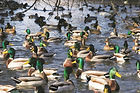 hunting for waterfowl in Indiana, hunting in indiana