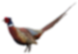 ring neck pheasant hunting, bird hunting outfitters, bird hunts