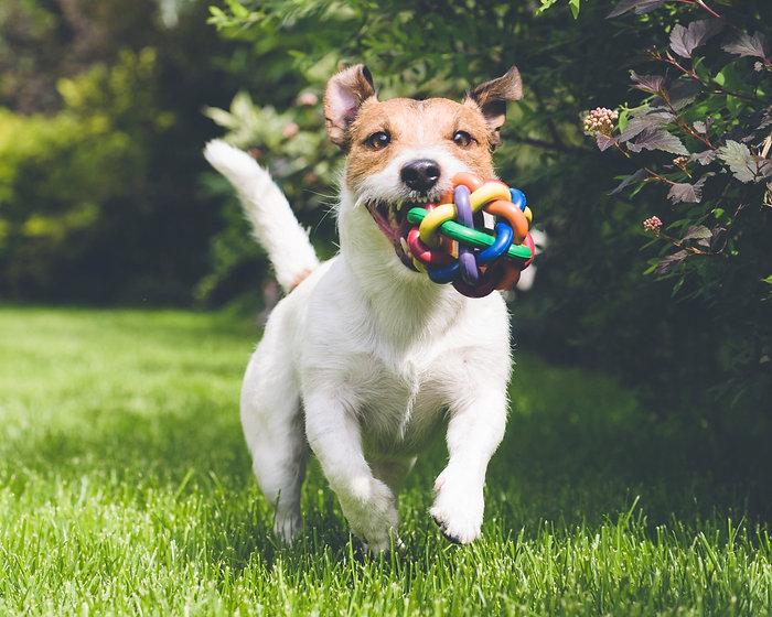 dog running with toy_edited.jpg