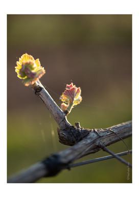 selection parution vignes -10.jpg