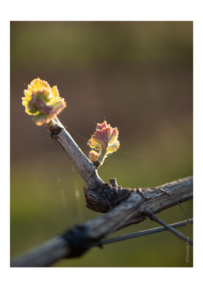 selection parution vignes -10.jpg