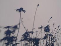 daisies 1 2011