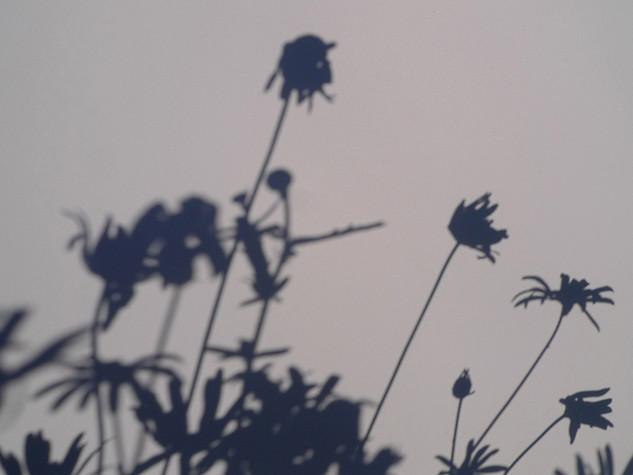 daisies 3 2011
