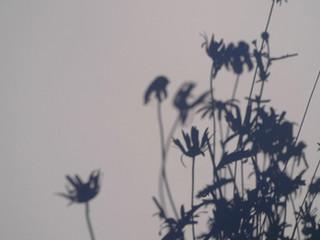 daisies 2 2011