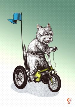 Westie on a Trike