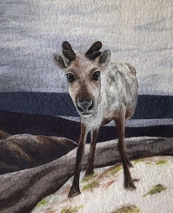 Cairngorms Reindeer
