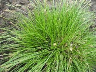 Carex albicans (SEDGE)