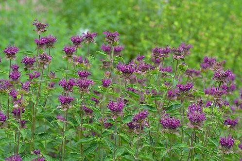 Monarda 'Purple Rooster' (BEE BALM)
