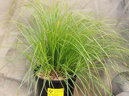 Carex pensylvanica (SEDGE)