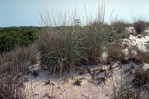 Panicum amarum (BEACH GRASS)