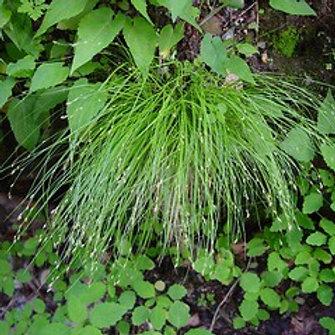 Carex appalachica (APPALACHIAN SEDGE)