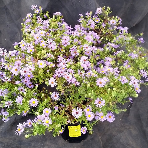 Aster 'October Skies' (AROMATIC ASTER)