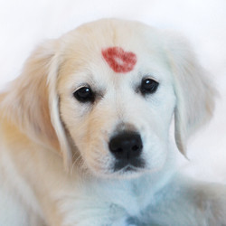 HT1A9180 puppy with lipstick kiss 2x2.jp