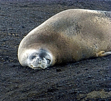 Crabeater Seal on Deception Island.jpg
