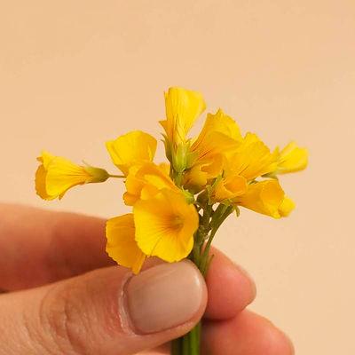 sorrel flower_4090409.JPG
