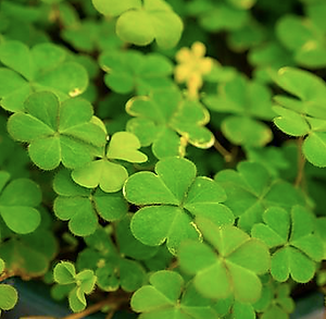 Green Woodsorrel.png