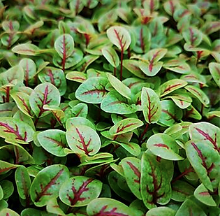 Red Vein Sorrel.png