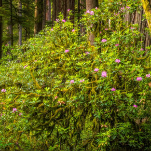 Creeping Rhododendron