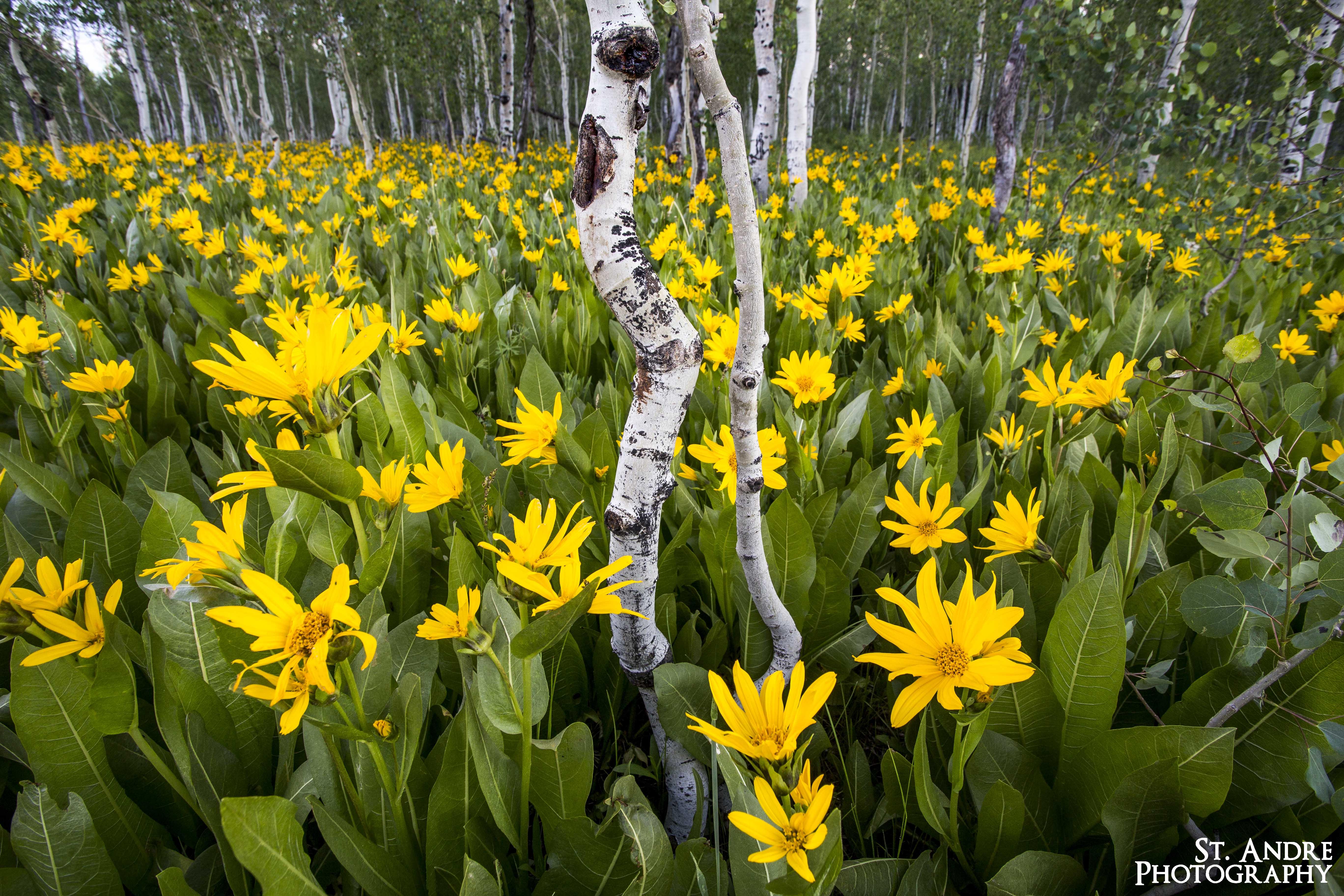 yellow flower fields (2 of 6)