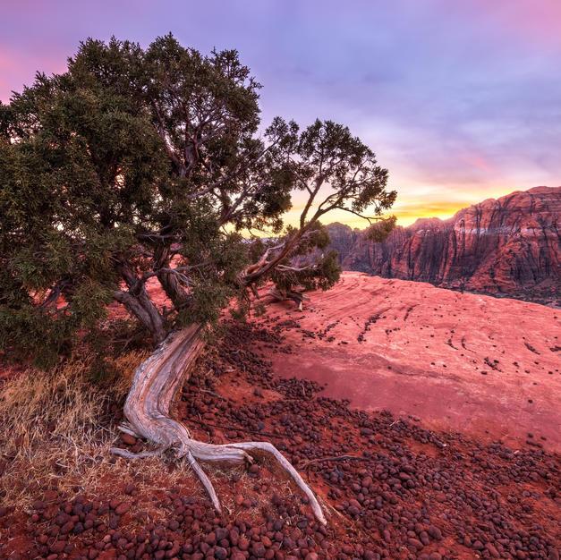 Snow Canyon Juniper