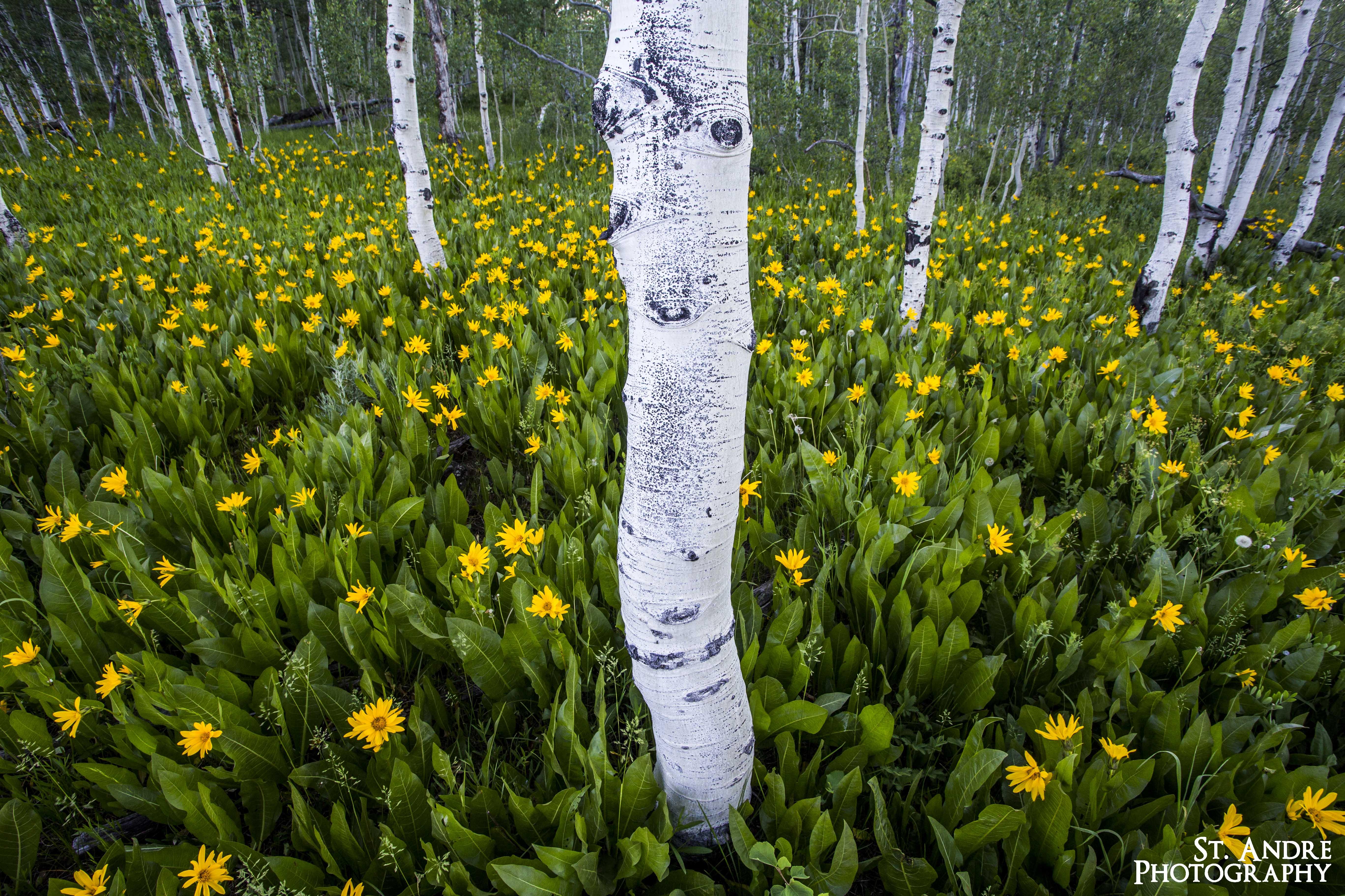 yellow flower fields (3 of 6)