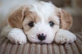 Online Puppy Class 1